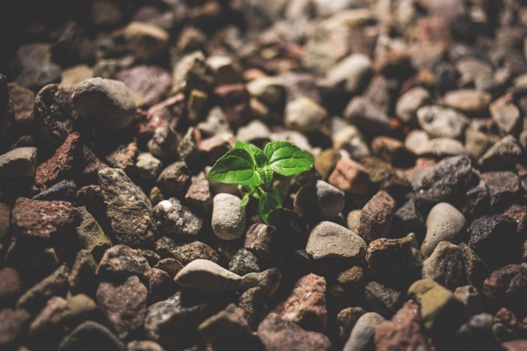 A young plant breaking ground from a rocky patch