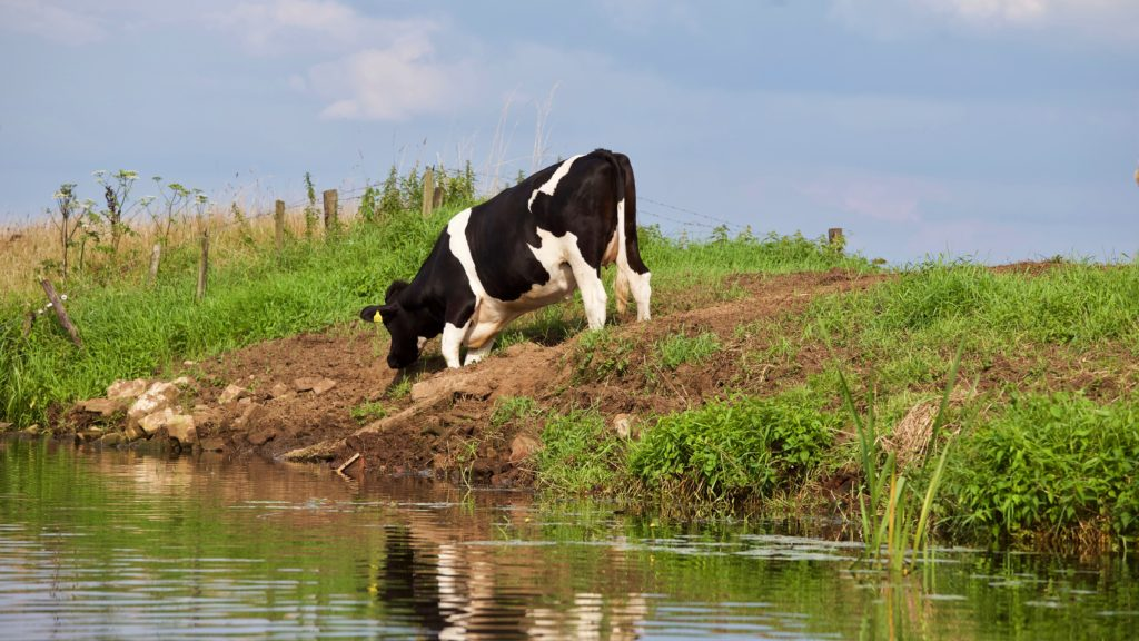cow grazing beside a river