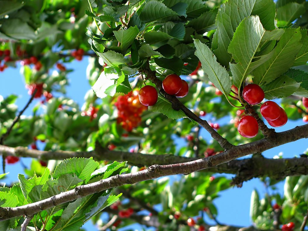 A tree branch abundantly endowed with ripe fruit